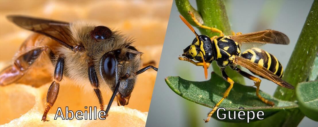 diff rence entre abeille et gu pe. Black Bedroom Furniture Sets. Home Design Ideas